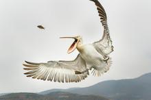 Dalmatian Pelican (Pelecanus Crispus) Catching A Fish In It's Mouth Mid-air, Lake Kerkini; Greece