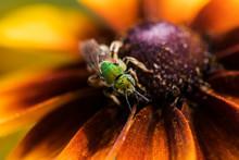 A Bicolored Striped-sweat Bee (Agapostemon Virescens) Pollinates Black-eyed Susan Blossoms; Astoria, Oregon, United States Of America