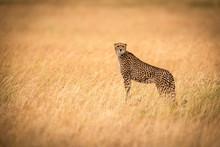Cheetah (Acinonyx Jubatus) Standing On Mound In Golden Grass Facing Camera, Maasai Mara National Reserve; Kenya