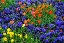 Colorful Flower Bed With Poppies And Blue Pansies