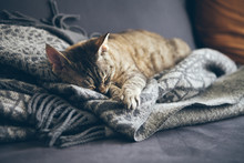 Tabby Cat Sleeping On Gray Plaid Wool Blanket With Tassels. Sleeping Cat - Perfect Dream. Indoor Shoot With Natural Light, Warm And Nice Ambiance