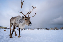 Portrait Of A Reindeer With Ma...