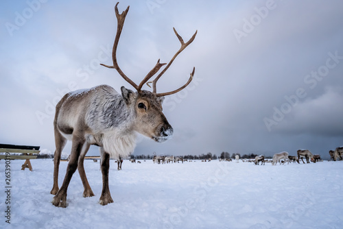 Photo Portrait of a reindeer with massive antlers