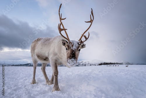 Portrait of a reindeer with massive antlers Canvas Print
