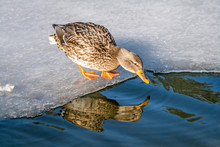 Mallard Duck Drinking Cold Water From Pond In Winter