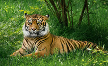 Tiger Laying Down On Green Grass