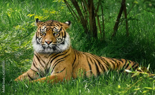 Tiger laying down on green grass Poster Mural XXL