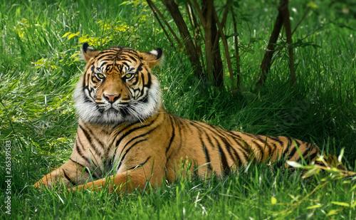 Fotografía Tiger laying down on green grass