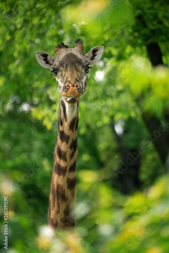 giraffe looking through green glass Canvas Print