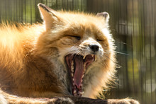 Red Fox (Vulpes Vulpes) With Toothy Yawn In Soft Light