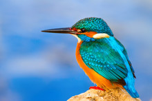 Colorful Bird Kingfisher. Blue...