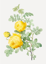 Vintage Sulphur Rose Drawing