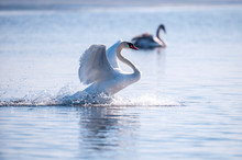 White Swan Floats On Water Sur...