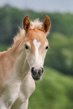 Cute Haflinger Horse Foal In A Meadow, Head With A White Blaze Marking