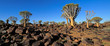 canvas print picture Panoramic landscape of quiver trees (Aloe dichotoma) and granite rocks, Namibia.