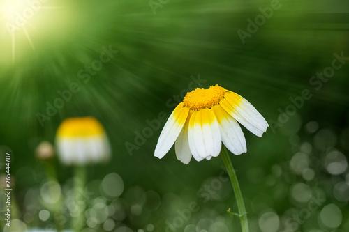 Fotografie, Obraz  flores blancas en el campo con el fondo verde natural