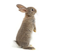 Fototapeta Zwierzęta - Funny bunny or baby rabbit fur gray with long ears is standing for Easter Day on isolated white background.
