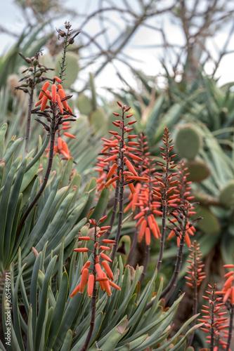 Fotografia, Obraz  Aloe plant in bloom