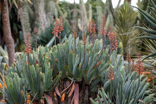 Obraz na plátne  Aloe plant in bloom