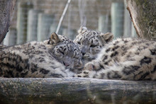 Sleeping Snow Leopard Cubs.