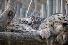 Sleeping Snow Leopard.