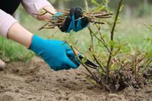 Closeup Of Gardeners Hand In P...