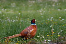 Ring Necked Pheasant In The Na...