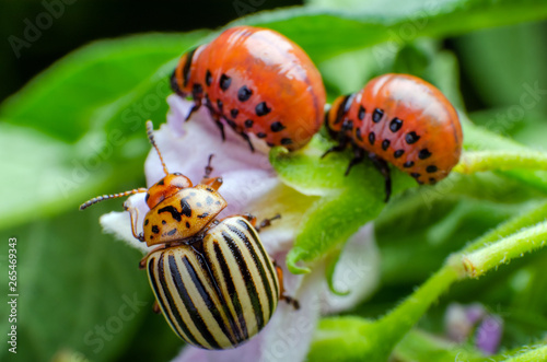 Colorado potato beetle and red larva crawling and eating potato leaves Fototapete