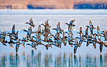 Flying Ducks. Winter Nature Background.