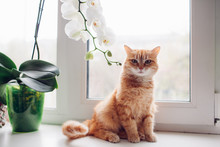 Ginger Red Cat Sitting On The Windowsill Near The Orchid