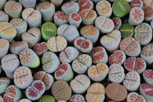 Cactus Lithops In A Tree Shop