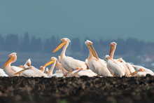 Pink Pelican Group In Burgas Lake, Bulgaria. Great White Pelican (pelecanus Onocrotalus)