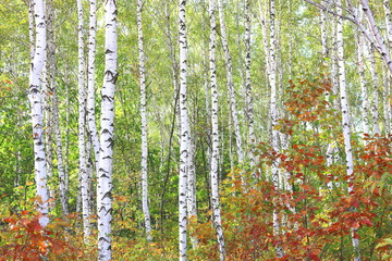 Fototapeta Brzoza Young birch with black and white birch bark in spring in birch grove against the background of other birches