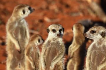 Erdmännchengruppe (suricata suricatta) in der Kalahari in Namibia