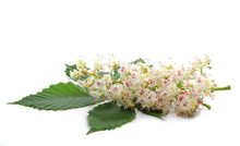 Horse-chestnut (Conker Tree) Flowers And Leaf Isolated On White Background, Clipping Path