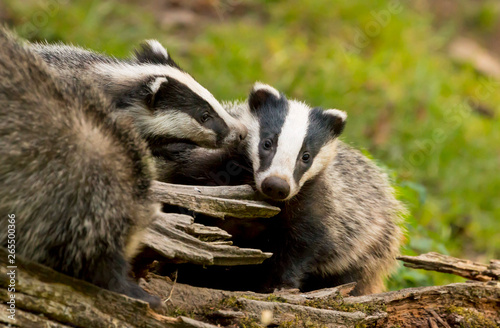 Cuadros en Lienzo A close up of an adult and baby wild badger (Meles meles)