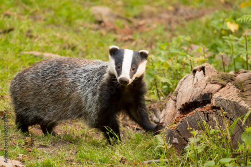 Fotografia, Obraz A close up of a wild badger (Meles meles)