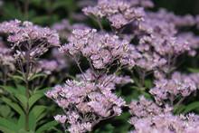 Lots Of Purple Flowers On Long...