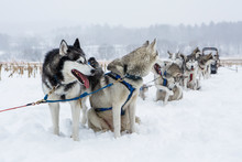 Huskies Rest In The Snow On A Dog Sledding Trip In New England.