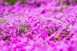 canvas print picture - Phlox subulata (moss pink) plant bloomin in close up
