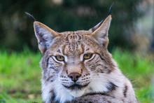 Portrait Of Eurasian Lynx, Wil...