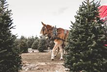 Horses Pulling Wagon Through Christmas Trees