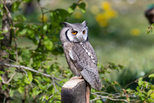 The Beautiful Southern White Faced Owl Posing And Facing