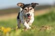 Leinwandbild Motiv Portrait of a Jack Russell Terrier dog outdoor in nature against a blue sky