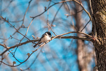 Black-capped Chickadee Bird Perched On Tree Branch In Sunny Spring In Virginia With Cherry Blossom Flowers Buds And Vibrant Blue Sky