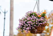 Closeup Of Colorful Purple Pink Flowers Basket Hanging On Street Pole On Sidewalk In Venice, Florida, USA