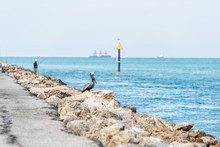 Eastern Brown Pelican In Venice, Florida On Pier Perched With Man Fishing In Background