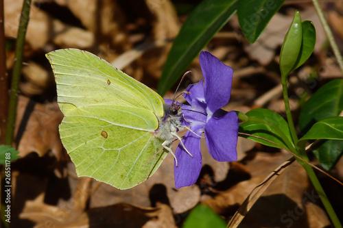 Deurstickers Vlinder farfalla Cedronella (Gonepteryx rhamni) su fiore di Vinca