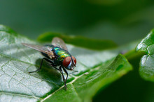 Common Fly On Leaf