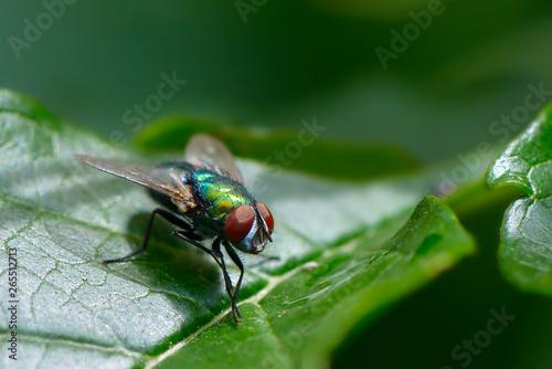 Canvastavla Common fly on leaf